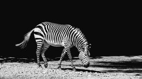 Zebra outdoors Stock Photos