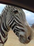 Zebra outra vez fotografia de stock royalty free