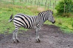 Zebra. A zebra outside in a zoo in denmark Stock Photography