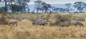 Zebra ouvida Fotos de Stock