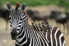 Zebra and Oxpeckers Stock Images