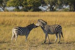 Zebra-Paare lizenzfreies stockfoto