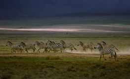 Zebra pack. Zebras running from hyenas in Tanzania royalty free stock photography