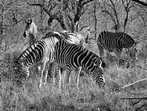 Zebra pack leader Royalty Free Stock Image