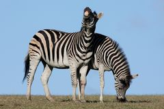 Zebra Pair Royalty Free Stock Photo