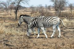Zebra Pair Stock Photography