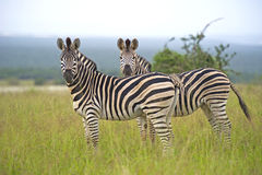 Zebra Pair Royalty Free Stock Image