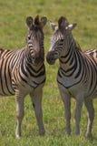Zebra Pair. Looking at the camera Stock Image