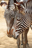 Zebra Royalty Free Stock Photos