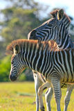 Zebra pair Stock Photo