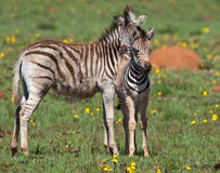 Zebra pair getting close Stock Photo
