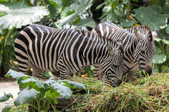Zebra Pair Grazing in the Wild Royalty Free Stock Photos