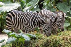 Zebra Pair Grazing in the Wild. Zebra Pair Grazing on Grass Closeup Portrait in the Wild royalty free stock photos