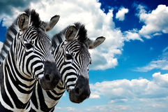 Zebra pair. In the wild, against the blue sky with clouds Royalty Free Stock Photography