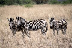 Zebra panorama with much more words only for your request. Blab la blab la blab la royalty free stock image