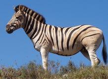 Zebra, Park Addo Royalty-vrije Stock Afbeeldingen