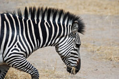 Zebra (particolare capo) che funziona con l'erba asciutta in bocca Fotografia Stock