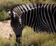 zebra pasiasta Obraz Royalty Free