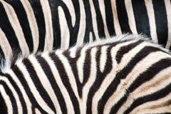 Zebra paskuje teksturę Obraz Stock