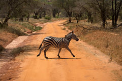 Zebra passes through the road in Kenya. Africa Royalty Free Stock Image