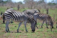 Zebra pasture Stock Photography