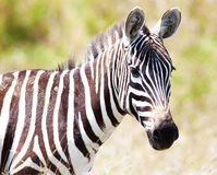 Zebra on a pasture Stock Photo