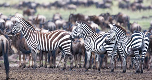 Zebra on a pasture Royalty Free Stock Images