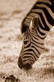 zebra pastwiskowa Fotografia Stock