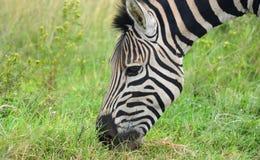 zebra pastwiskowa Obrazy Royalty Free