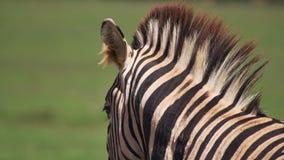 Zebra patrzeje daleko od Obrazy Stock