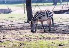 Zebra patrzeje dla jedzenia na ziemi w safari parku Ramat Gan, Izrael Obrazy Stock