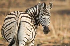 Zebra patrzeje kamerę zdjęcia stock