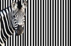 Zebra patrzeje kamerę na pasiastym tle Obrazy Royalty Free