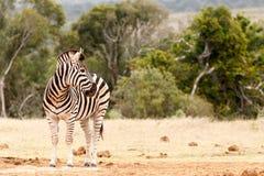 Zebra patrzeje nad jego ramieniem Zdjęcia Stock