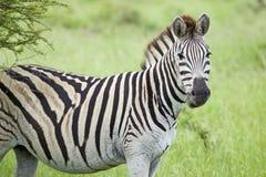 Zebra patrzeje w kamerę w Umfolozi gry rezerwie, Południowa Afryka, ustanawiający w 1897 Zdjęcie Stock