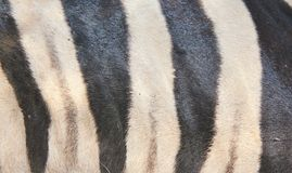 Zebra - Pattern of Black and White Stock Image