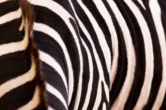 Zebra pattern. Collored and closeup Stock Photos