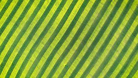 Zebra Pattern Green And Yellow Parallel Lines Of Canola Bloom In Farmland Field. Zebra pattern with parallel lines green wheat and bloom yellow of rapeseed stock footage