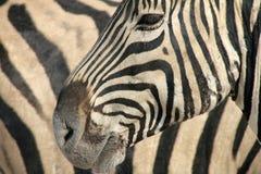 Zebra Pattern Royalty Free Stock Images