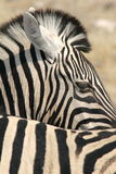 Zebra Pattern Stock Photo