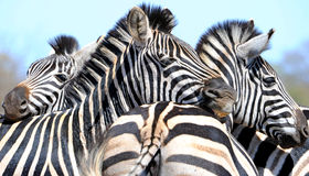 Zebra patterns. These three zebras were seen in the kruger national park south africa Royalty Free Stock Photography
