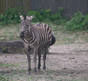 Zebra pausing to watch the action Royalty Free Stock Photos