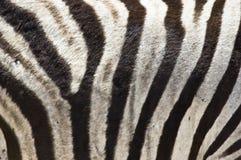 Zebra-Pelz Stockfotografie