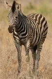 Zebra pequena das planícies Imagens de Stock Royalty Free
