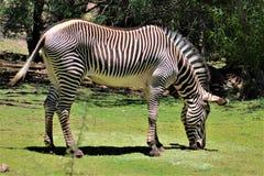 Zebra, Phoenix-Zoo, Arizona-Mitte für Erhaltung der Natur, Phoenix, Arizona, Vereinigte Staaten lizenzfreie stockfotografie