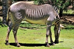 Zebra, Phoenix-Zoo, Arizona-Mitte für Erhaltung der Natur, Phoenix, Arizona, Vereinigte Staaten lizenzfreie stockfotos