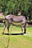 Zebra, Phoenix-Zoo, Arizona-Mitte für Erhaltung der Natur, Phoenix, Arizona, Vereinigte Staaten lizenzfreies stockbild