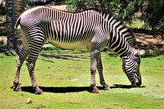 Zebra, Phoenix-Zoo, Arizona-Mitte für Erhaltung der Natur, Phoenix, Arizona, Vereinigte Staaten stockfotos