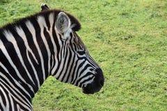 Zebra. A photo of a zebra taken in Australia Stock Photo