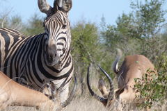 Zebra. Surrounded by  Impala antelope Royalty Free Stock Photography